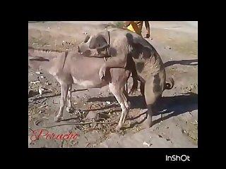 32.pig Fucking Donkey